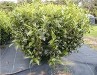 Arbusto de chá chinês